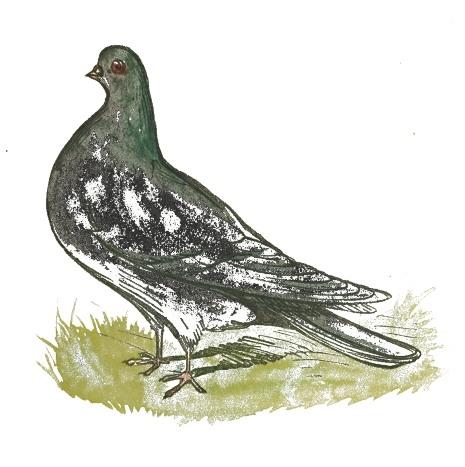Pigeons-03