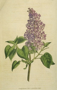 Common_Lilac 200px